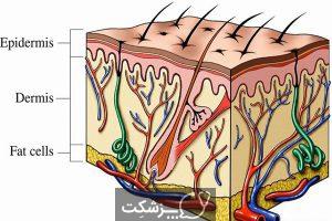 ساختار و عملکرد پوست | پزشکت