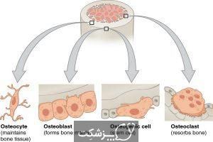 ساختار و عملکرد سیستم اسکلتی | پزشکت