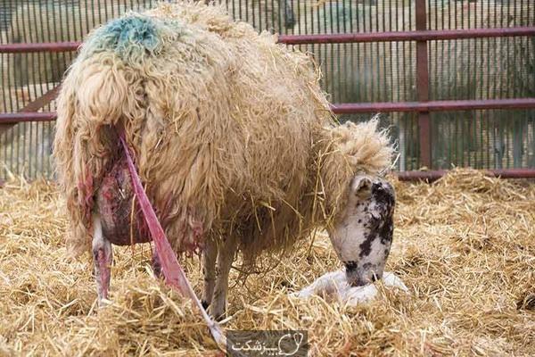 شایع ترین علل سقط جنین گوسفندان | پزشکت
