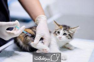 سرطان خون در گربه های خانگی | پزشکت