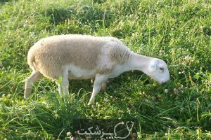 شایع ترین بیماری ها در گوسفندان | پزشکت