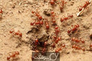 مورچه های آتشین - سپند جام