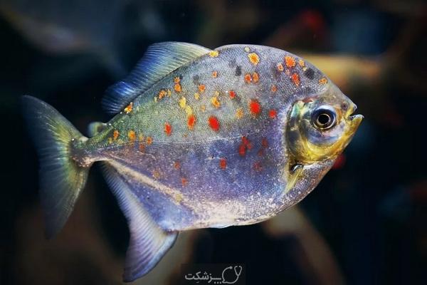 تعیین جنسیت در ماهی ها 5 | پزشکت