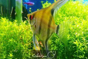 تعیین جنسیت در ماهی ها 4 | پزشکت