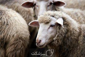 مسمومیت با مس در گوسفندان 2 | پزشکت