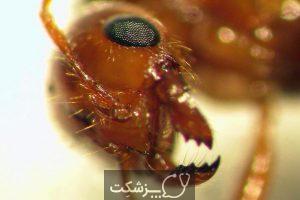 حقایق جالب در مورد مورچه های آتشین 2 | پزشکت
