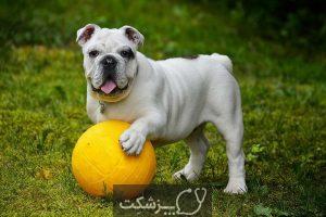 سگ بولداگ 1 | پزشکت