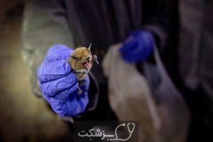 خفاش های مبتلا به ویروس کرونا 3 | پزشکت