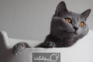 نژادهای گربه با چشمانی درشت | پزشکت