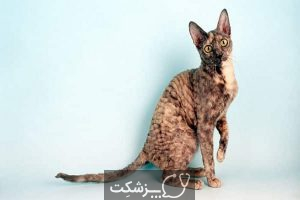 نژادهای گربه با چشمانی درشت   پزشکت