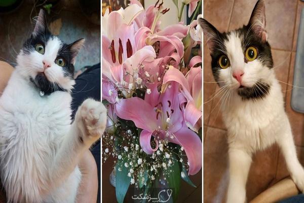 مسمومیت گربه با گل سوسن | پزشکت