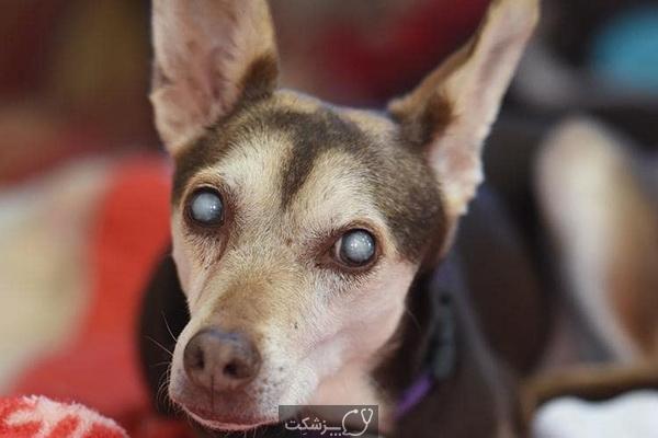 آب مروارید در سگ ها 4 | پزشکت