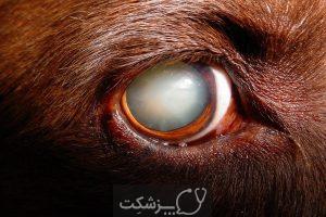آب مروارید در سگ ها 2 | پزشکت
