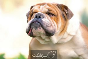 سگ بولداگ 2 | پزشکت