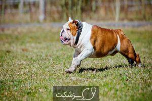 سگ بولداگ 4 | پزشکت