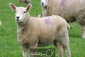 مسمومیت با مس در گوسفندان 5 | پزشکت