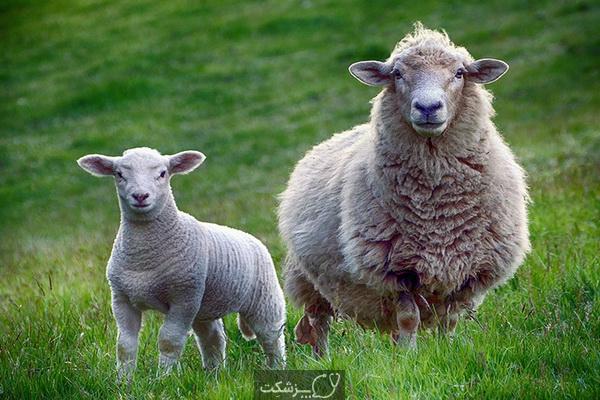 مسمومیت با مس در گوسفندان 1 | پزشکت