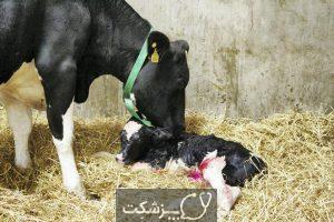 شایع ترین علت سقط جنین در گاو 5   پزشکت
