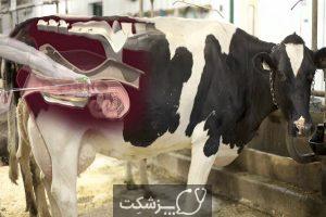 شایع ترین علت سقط جنین در گاو 2   پزشکت